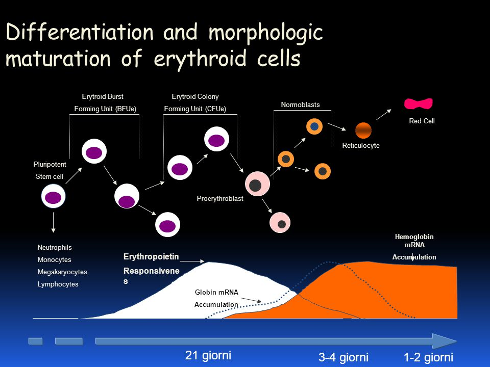 Differentiation and morphologic maturation of erythroid cells