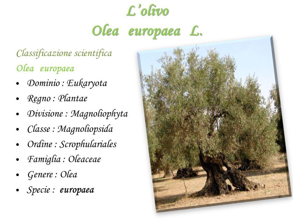 L'olivo Olea europaea L.