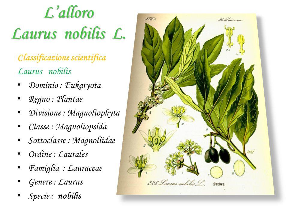 L'alloro Laurus nobilis L.