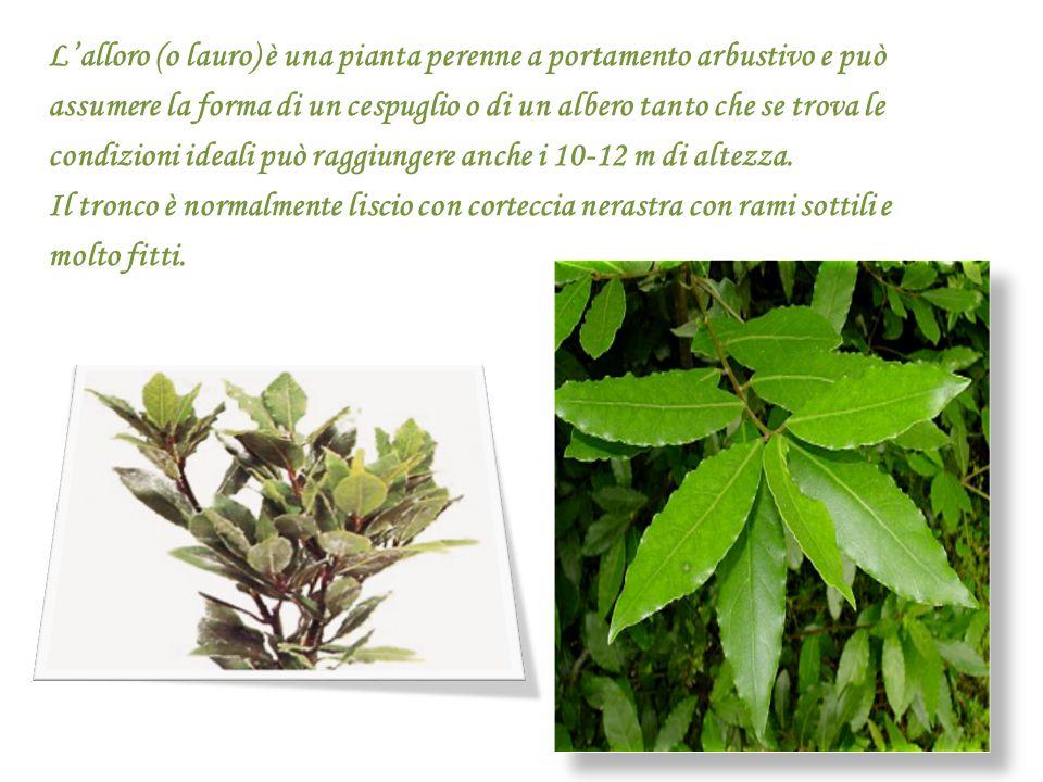 L'alloro (o lauro) è una pianta perenne a portamento arbustivo e può assumere la forma di un cespuglio o di un albero tanto che se trova le condizioni ideali può raggiungere anche i 10-12 m di altezza.