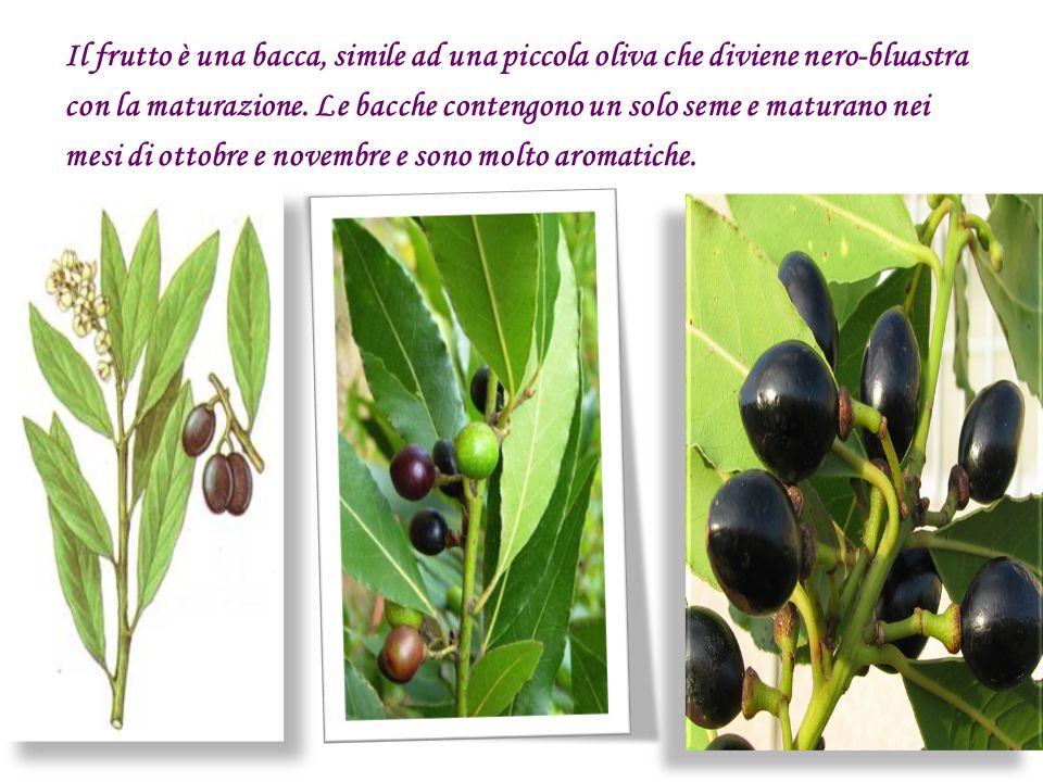 Il frutto è una bacca, simile ad una piccola oliva che diviene nero-bluastra con la maturazione.