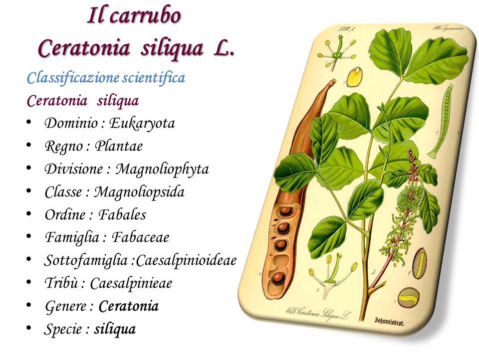 Il carrubo Ceratonia siliqua L.