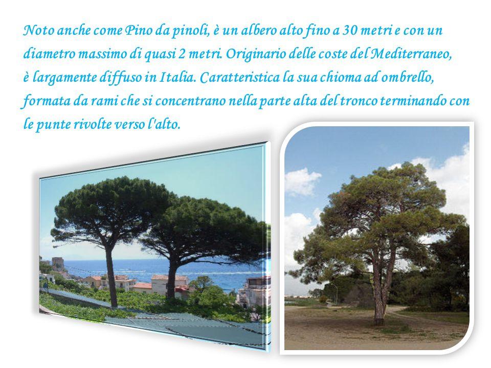 Noto anche come Pino da pinoli, è un albero alto fino a 30 metri e con un diametro massimo di quasi 2 metri.