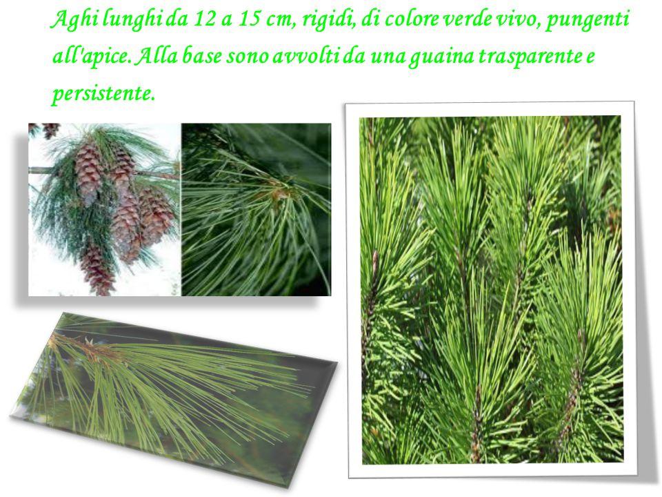Aghi lunghi da 12 a 15 cm, rigidi, di colore verde vivo, pungenti all apice.