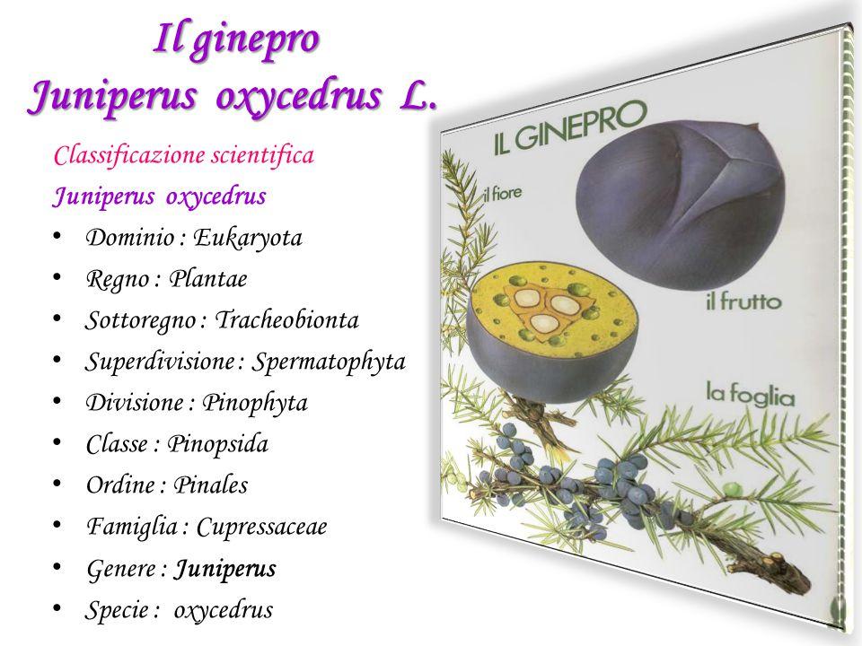 Il ginepro Juniperus oxycedrus L.