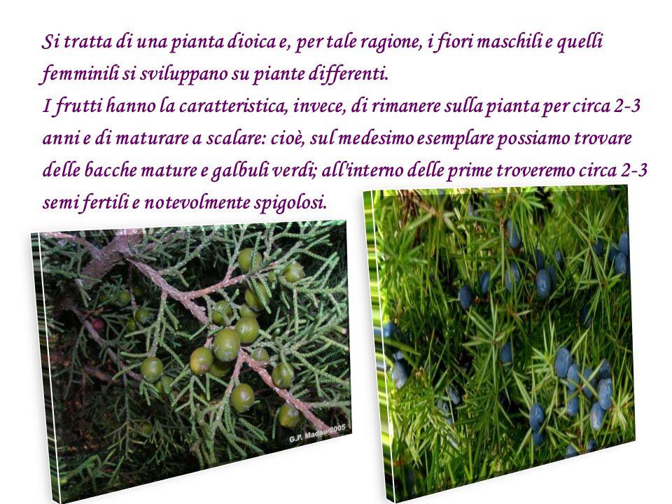 Si tratta di una pianta dioica e, per tale ragione, i fiori maschili e quelli femminili si sviluppano su piante differenti.