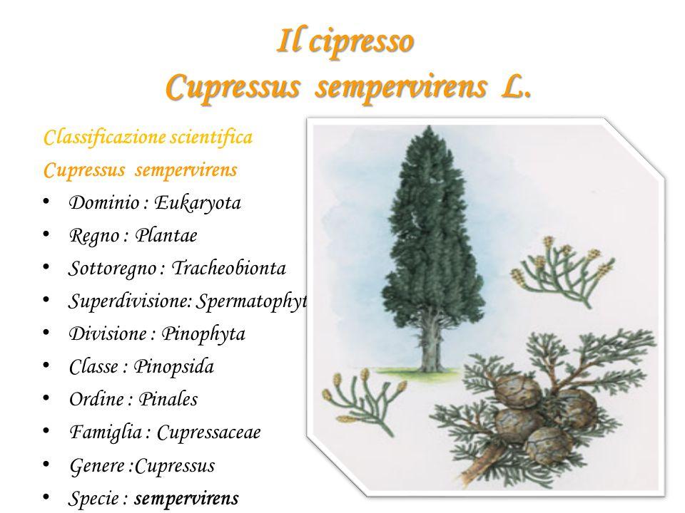 Il cipresso Cupressus sempervirens L.