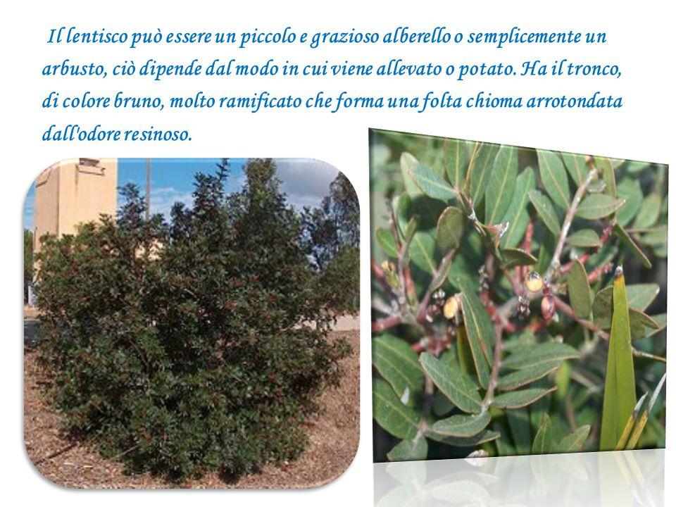 Il lentisco può essere un piccolo e grazioso alberello o semplicemente un arbusto, ciò dipende dal modo in cui viene allevato o potato.