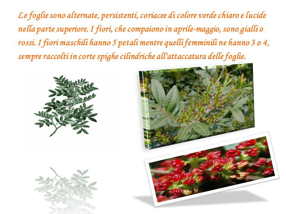 Le foglie sono alternate, persistenti, coriacee di colore verde chiaro e lucide nella parte superiore.