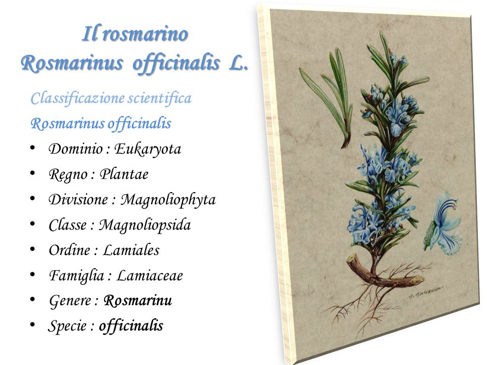 Il rosmarino Rosmarinus officinalis L.