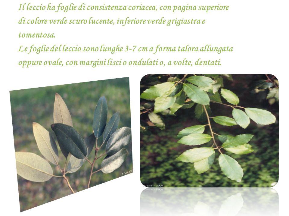 Il leccio ha foglie di consistenza coriacea, con pagina superiore di colore verde scuro lucente, inferiore verde grigiastra e tomentosa.