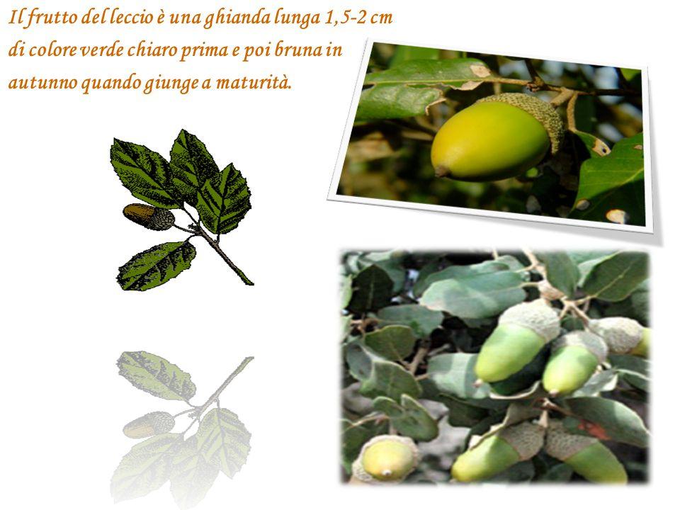 Il frutto del leccio è una ghianda lunga 1,5-2 cm