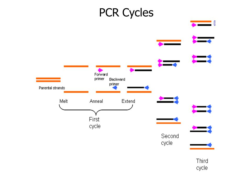 PCR Cycles