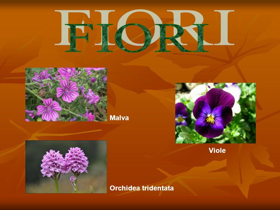FIORI Malva Viole Orchidea tridentata
