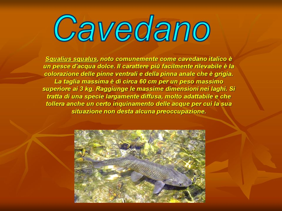 Cavedano