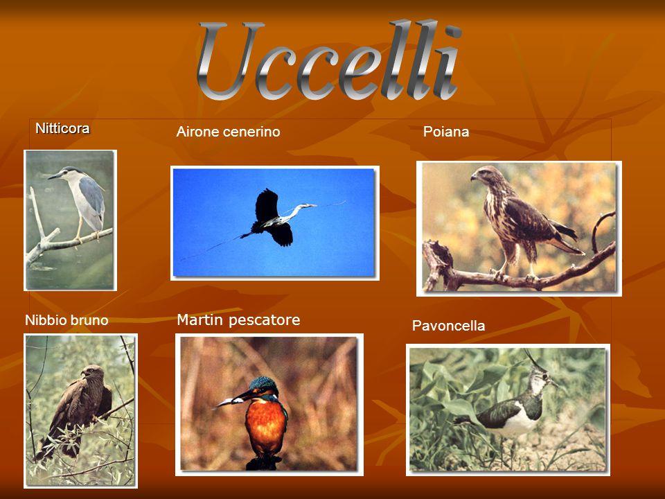 Uccelli Nitticora Airone cenerino Poiana Nibbio bruno Martin pescatore