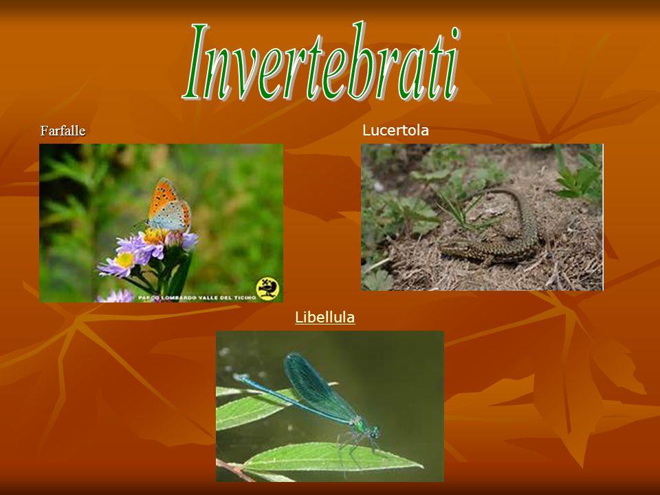 Invertebrati Farfalle Lucertola Libellula