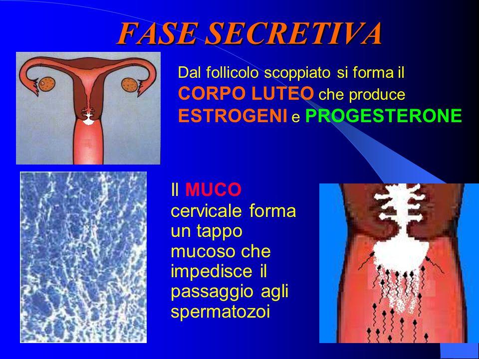 FASE SECRETIVA Dal follicolo scoppiato si forma il. CORPO LUTEO che produce ESTROGENI e PROGESTERONE.