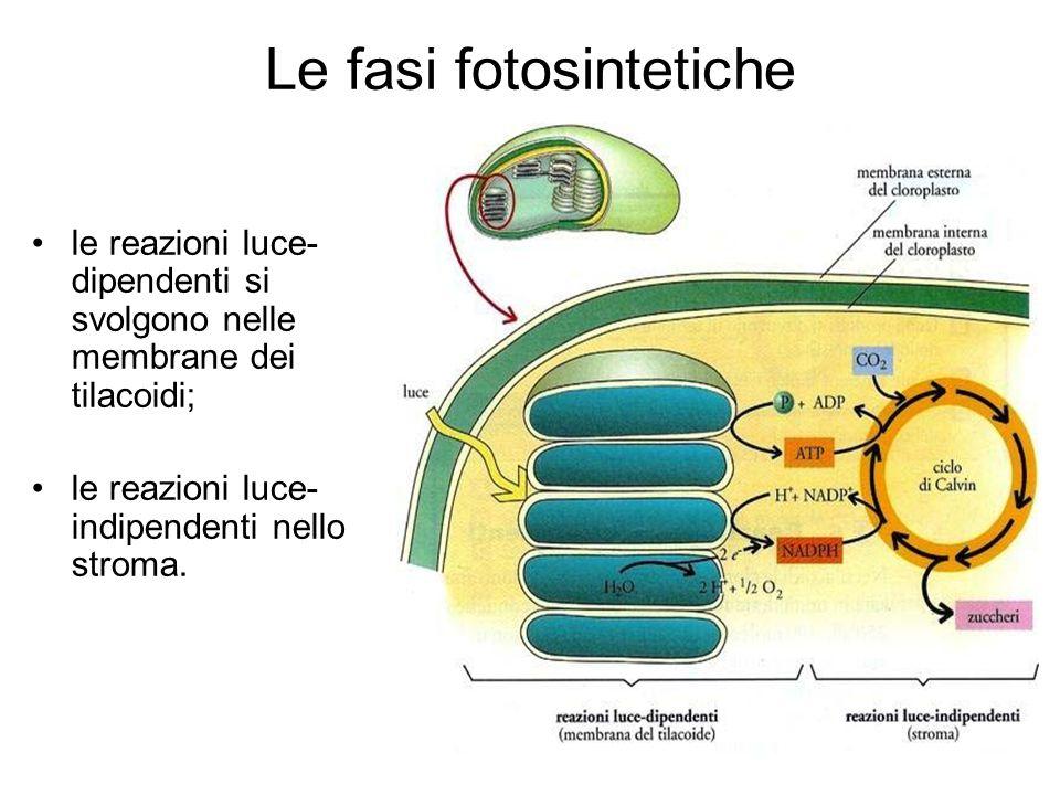 Le fasi fotosintetiche