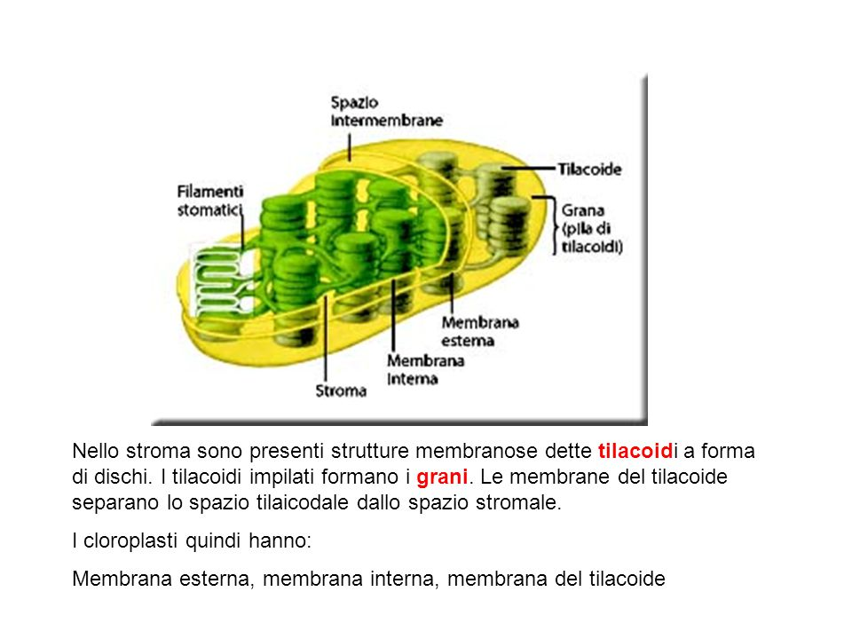 Nello stroma sono presenti strutture membranose dette tilacoidi a forma di dischi. I tilacoidi impilati formano i grani. Le membrane del tilacoide separano lo spazio tilaicodale dallo spazio stromale.