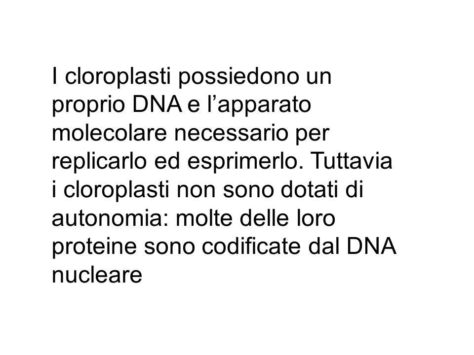 I cloroplasti possiedono un proprio DNA e l'apparato molecolare necessario per replicarlo ed esprimerlo.