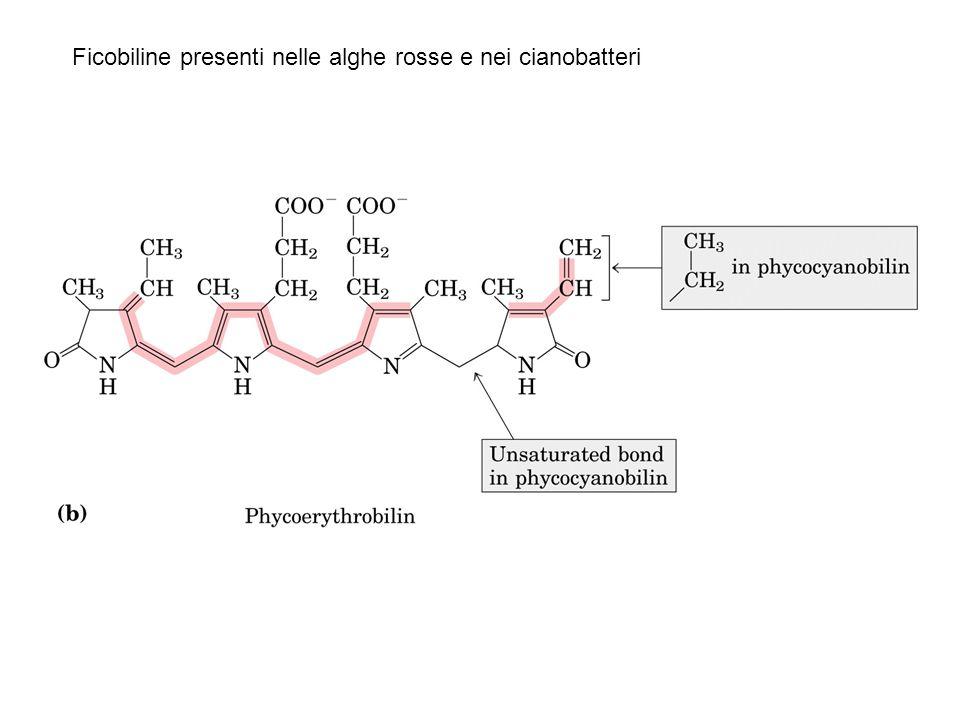 Ficobiline presenti nelle alghe rosse e nei cianobatteri