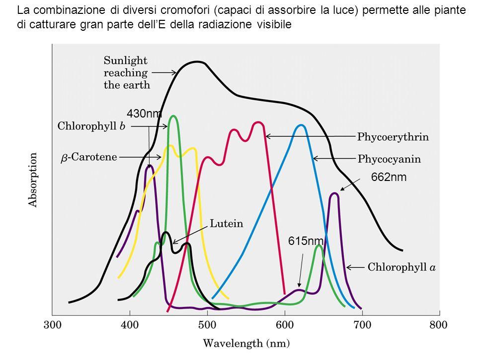 La combinazione di diversi cromofori (capaci di assorbire la luce) permette alle piante di catturare gran parte dell'E della radiazione visibile