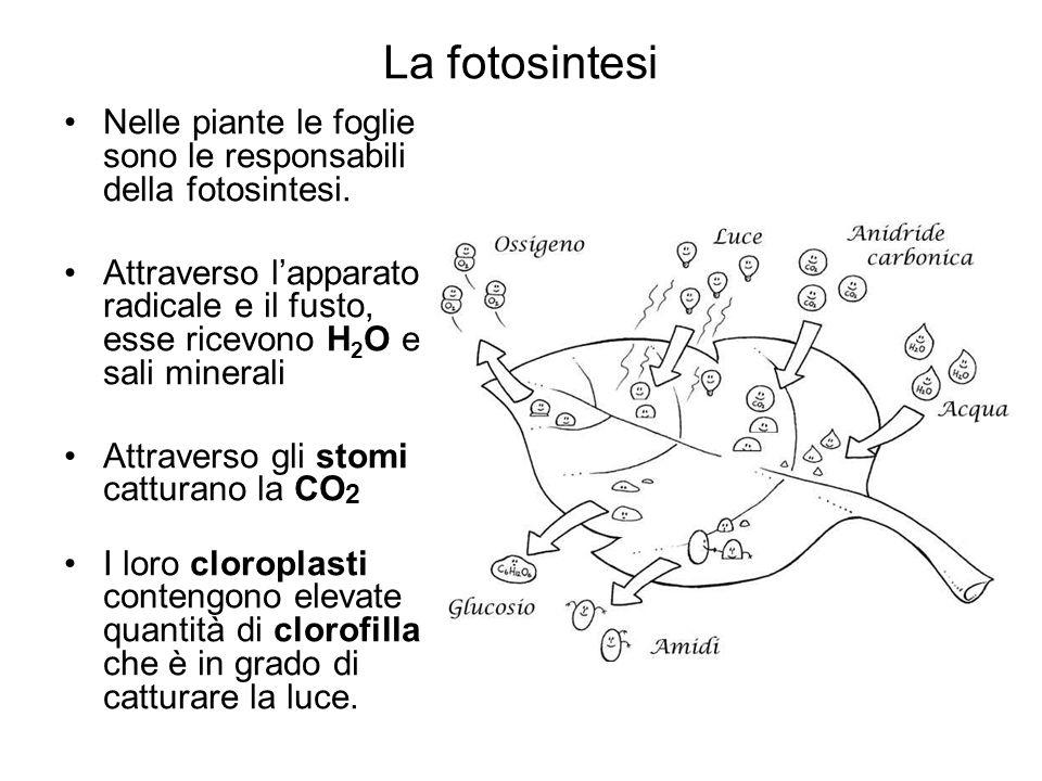 La fotosintesi Nelle piante le foglie sono le responsabili della fotosintesi.