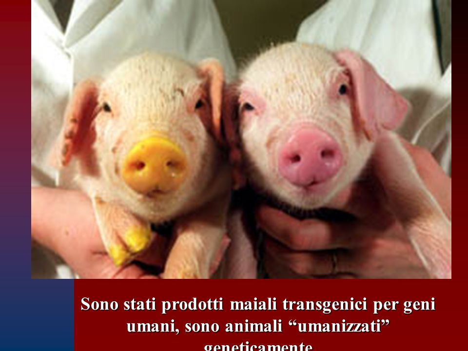 Sono stati prodotti maiali transgenici per geni umani, sono animali umanizzati geneticamente