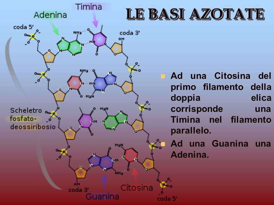 LE BASI AZOTATE Ad una Citosina del primo filamento della doppia elica corrisponde una Timina nel filamento parallelo.