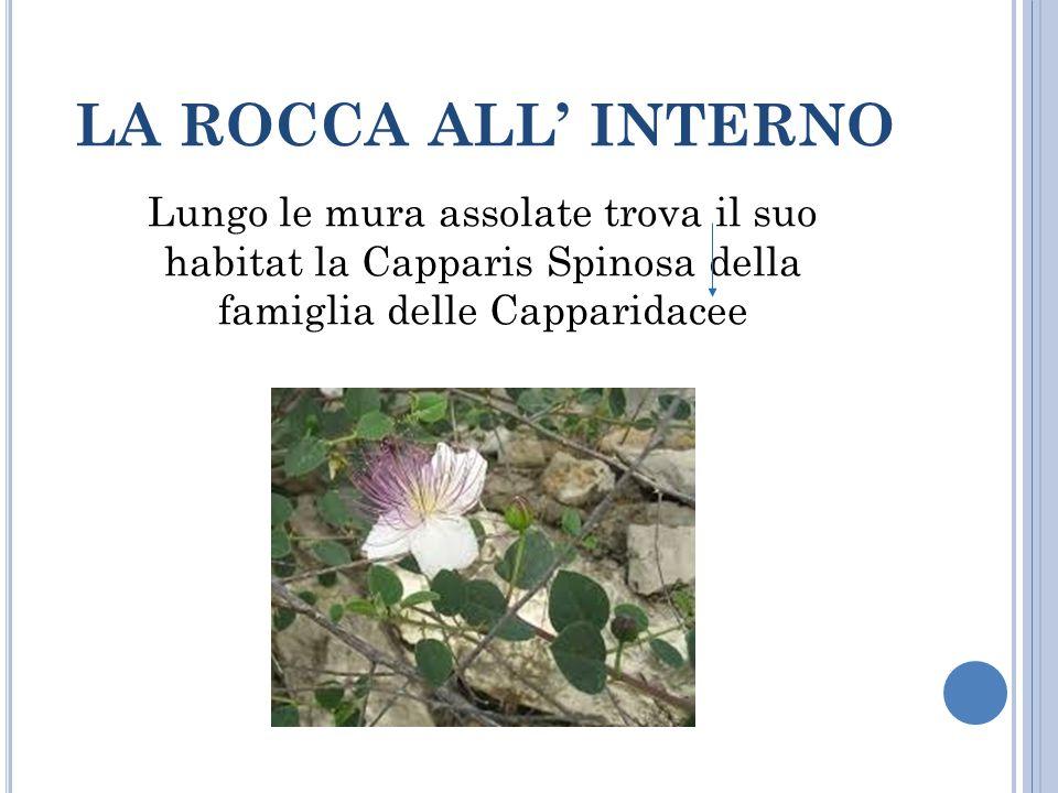 LA ROCCA ALL' INTERNO Lungo le mura assolate trova il suo habitat la Capparis Spinosa della famiglia delle Capparidacee.