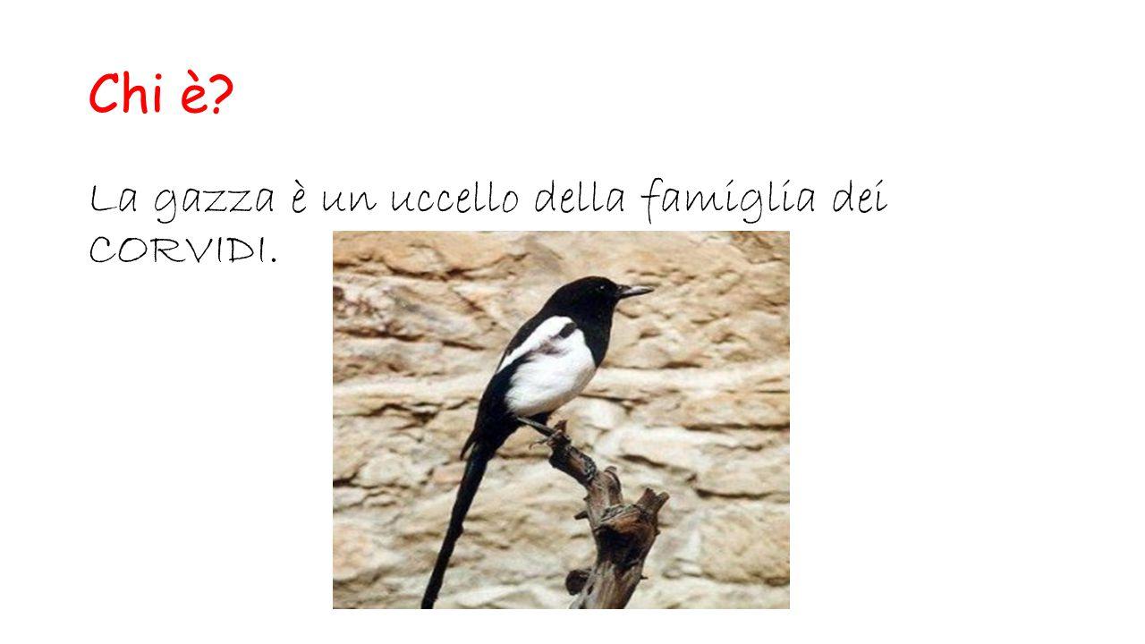 Chi è La gazza è un uccello della famiglia dei CORVIDI.
