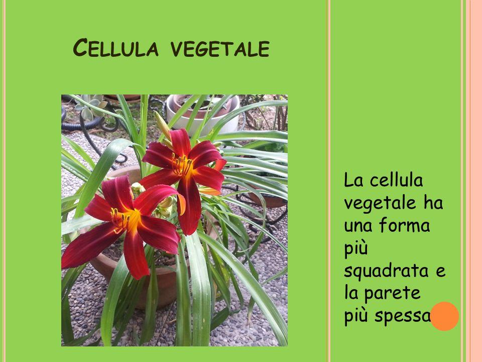 Cellula vegetale La cellula vegetale ha una forma più squadrata e la parete più spessa