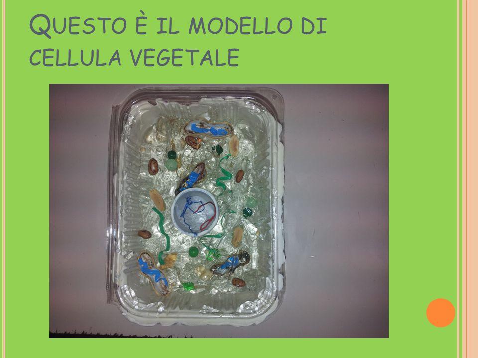 Questo è il modello di cellula vegetale