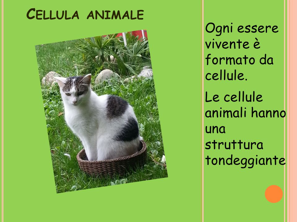 Cellula animale Ogni essere vivente è formato da cellule.
