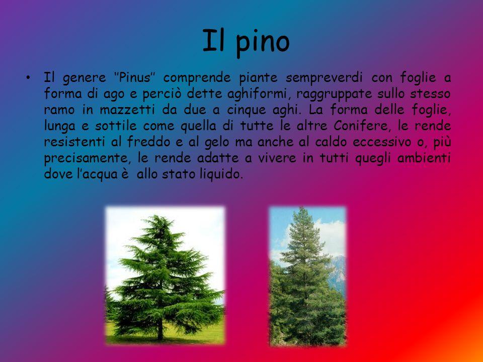 Il pino