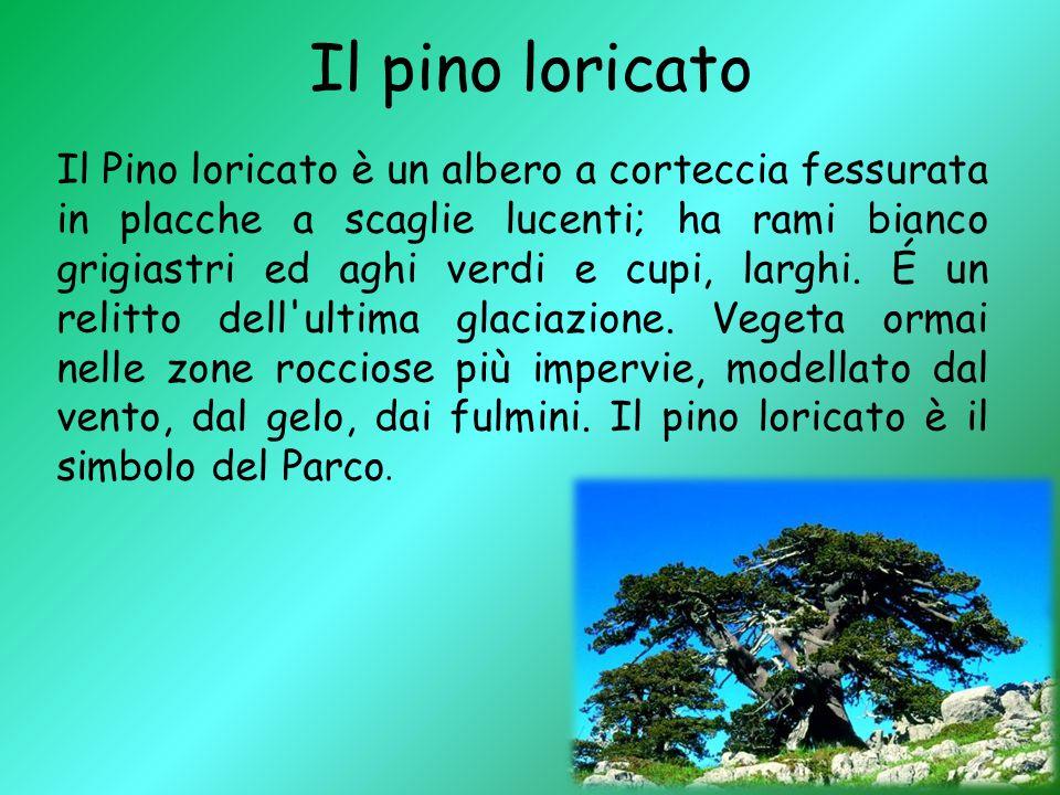 Il pino loricato