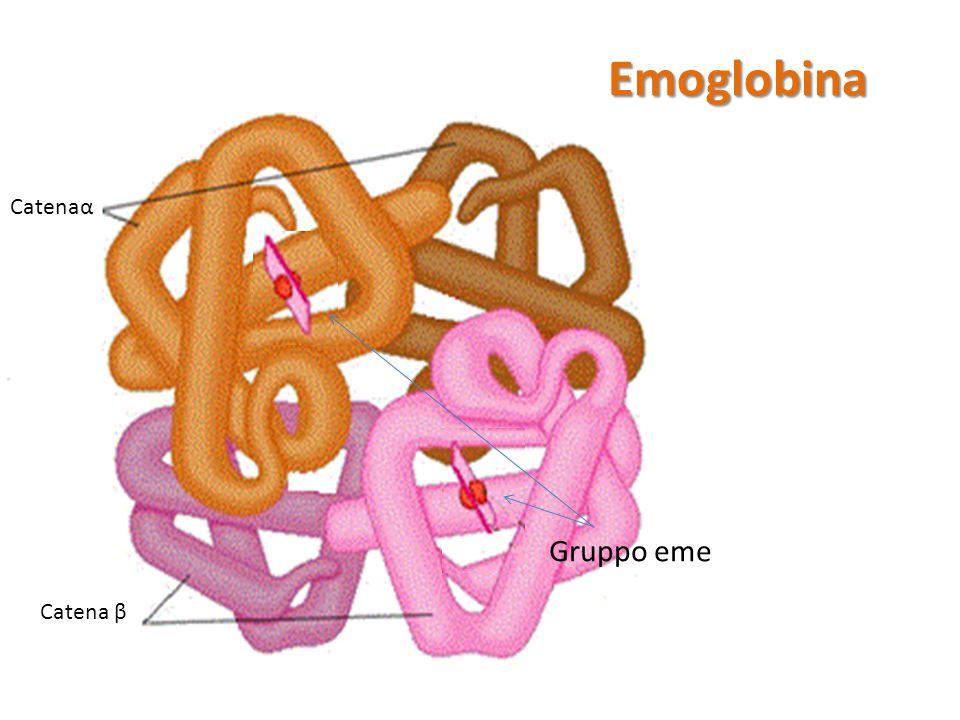 Emoglobina Catenaα Gruppo eme Catena β