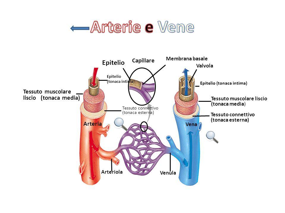 Arterie e Vene Epitelio Capillare Tessuto muscolare