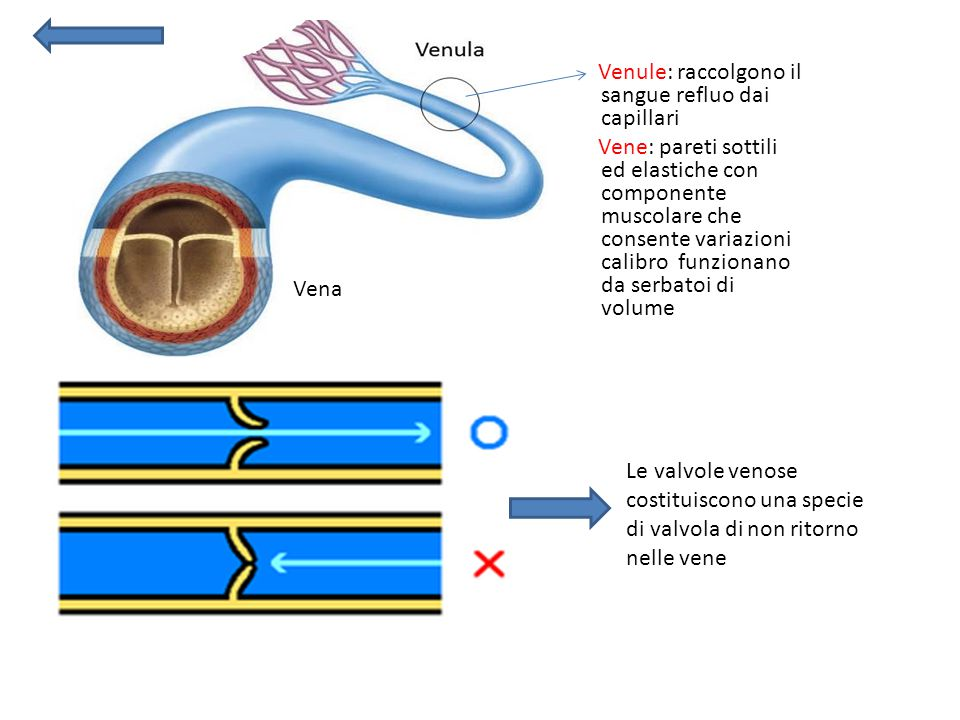 Venule: raccolgono il sangue refluo dai capillari Vene: pareti sottili ed elastiche con componente muscolare che consente variazioni calibro funzionano da serbatoi di volume