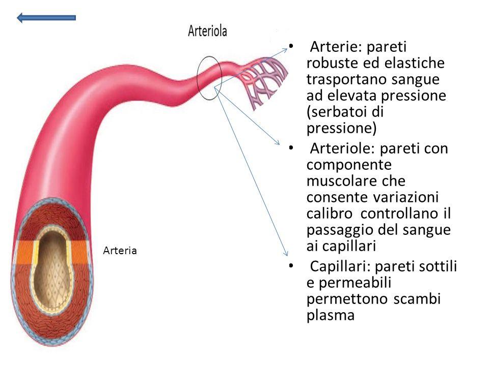 Capillari: pareti sottili e permeabili permettono scambi plasma