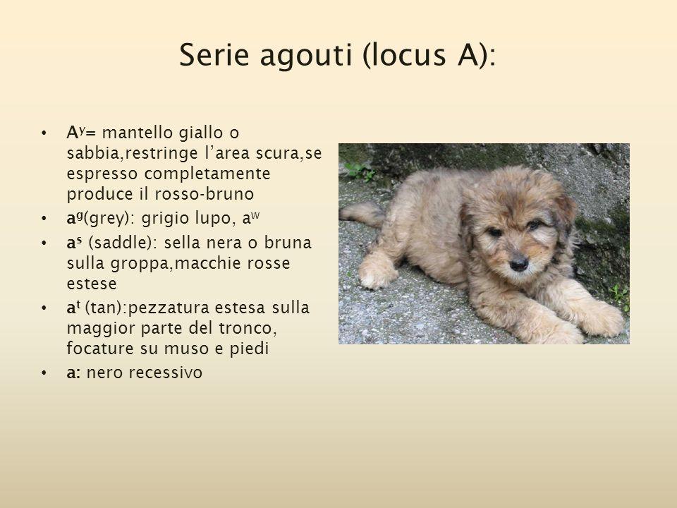Serie agouti (locus A):