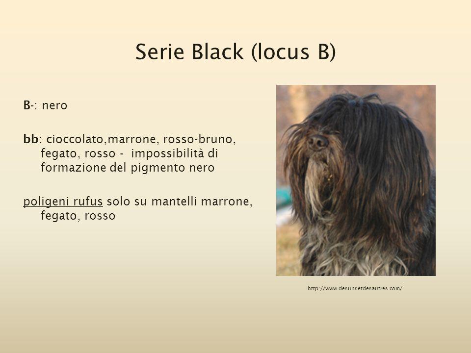 Serie Black (locus B) B-: nero