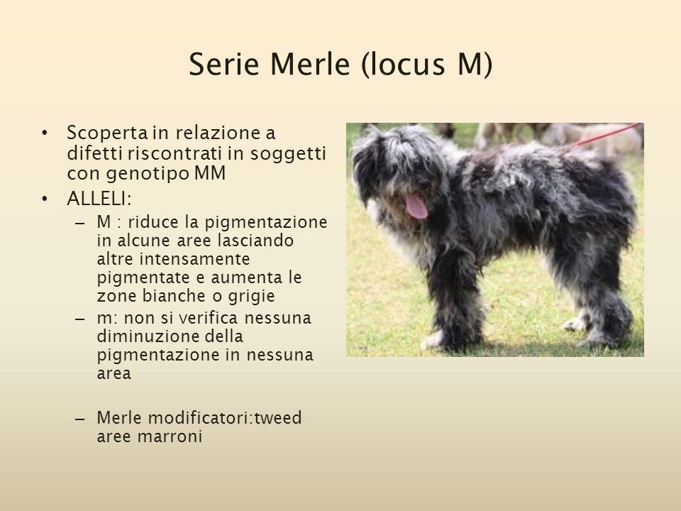 Serie Merle (locus M) Scoperta in relazione a difetti riscontrati in soggetti con genotipo MM. ALLELI: