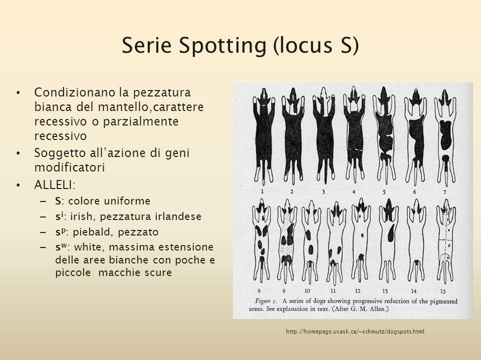 Serie Spotting (locus S)