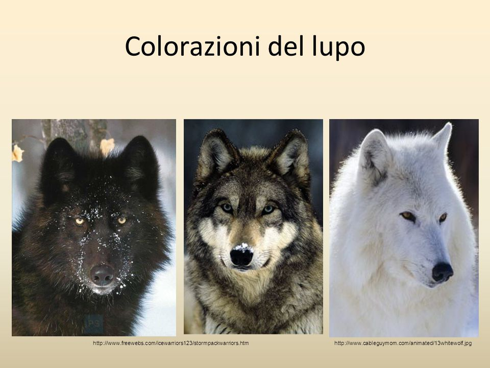 Colorazioni del lupo http://www.freewebs.com/icewarriors123/stormpackwarriors.htm.