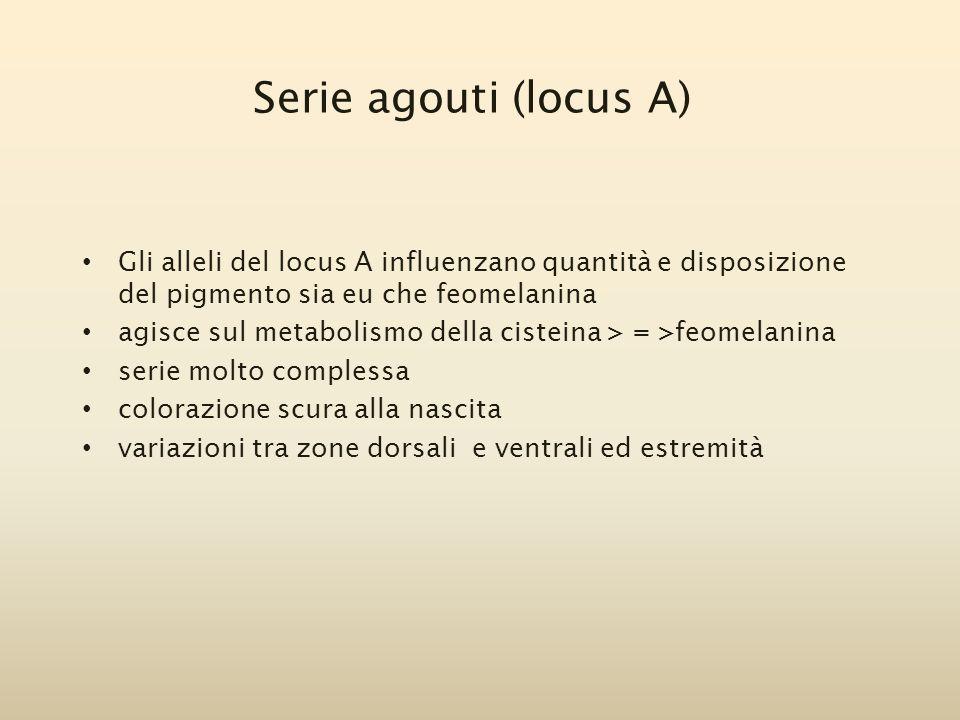 Serie agouti (locus A) Gli alleli del locus A influenzano quantità e disposizione del pigmento sia eu che feomelanina.