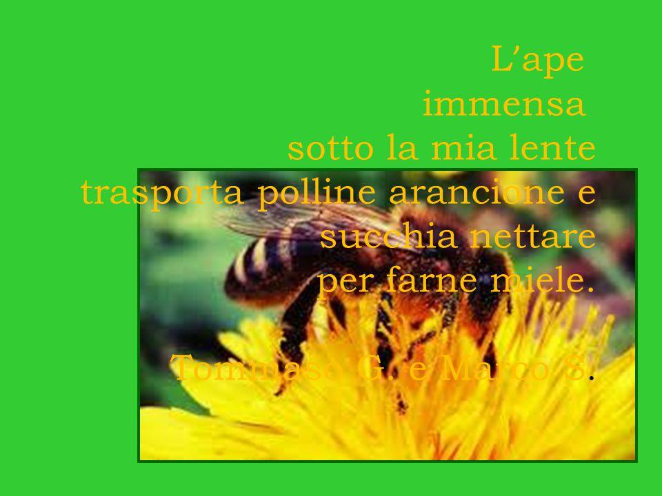L'ape immensa. sotto la mia lente. trasporta polline arancione e. succhia nettare. per farne miele.