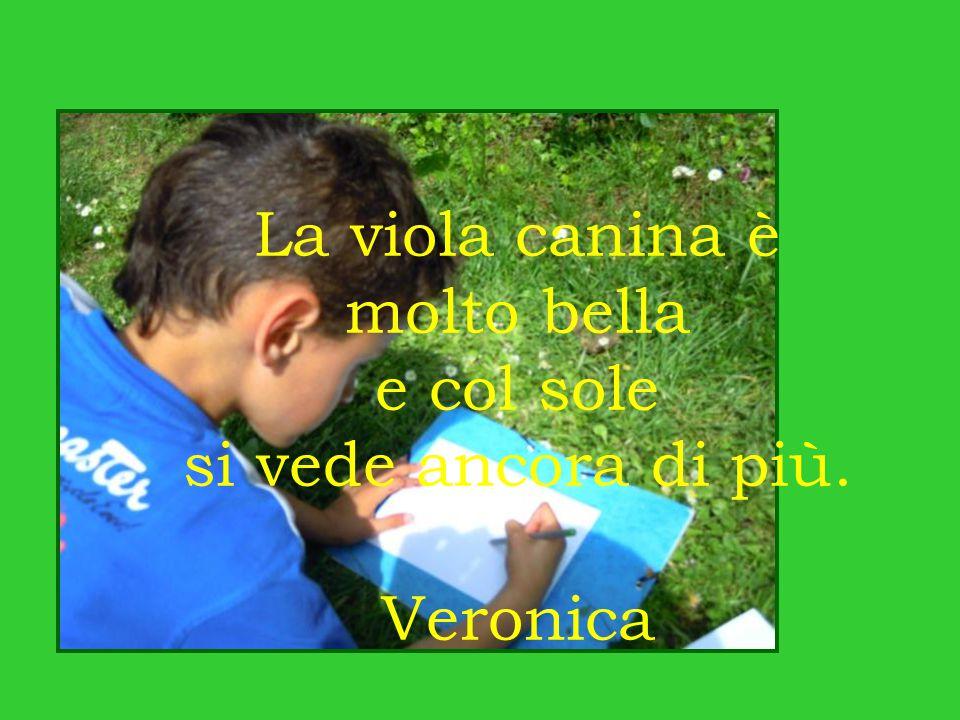 La viola canina è molto bella e col sole si vede ancora di più. Veronica