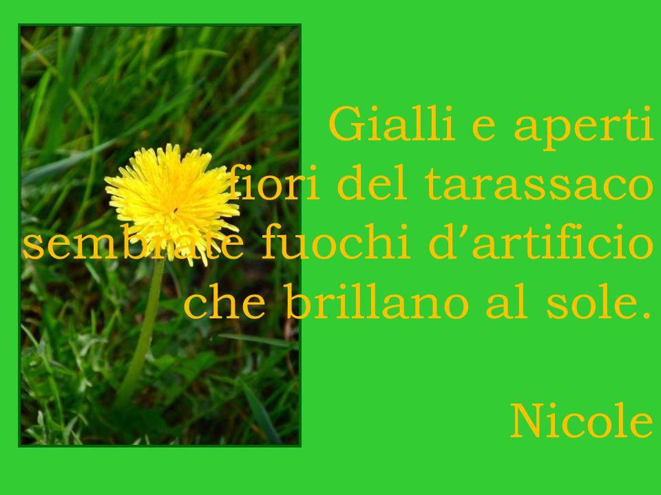Gialli e aperti fiori del tarassaco sembrate fuochi d'artificio che brillano al sole. Nicole